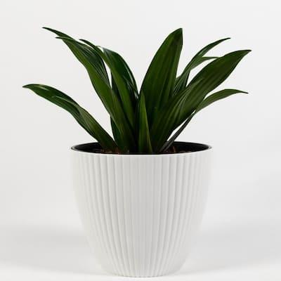 Janet Craig Dracaena (Dracaena Deremensis) Live Plant Inside Decorator in White Ribbed 6 in. Planter