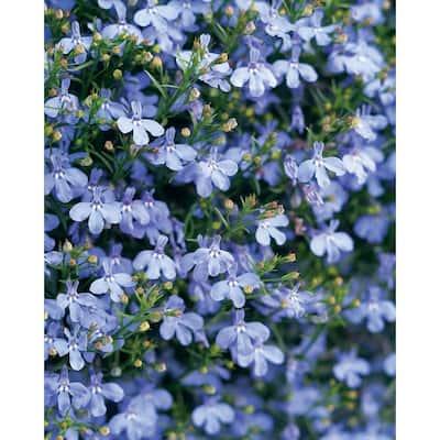 4-Pack, 4.25 in. Grande Laguna Sky Blue (Lobelia) Live Plant, Light Blue Flowers