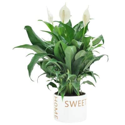 Spathiphyllum Peace Lily Plant in 6 in. Home Sweet Home Ceramic