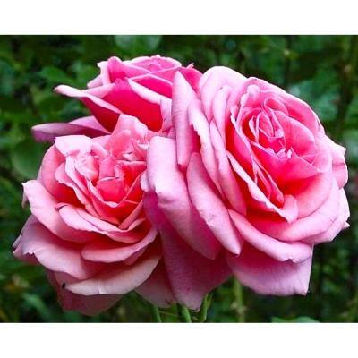 Fragrant Aloha Climbing Rose with Pink Flowers