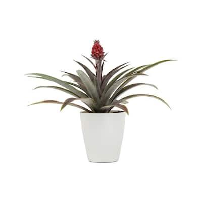 1 Qt. Pineapple Plant Mini Me Cathy Red in 4.7 in. Designer Pot
