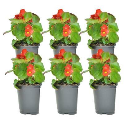 1 Pt. Begonia Scarlet Flowers in Grower Pot (6-Pack)