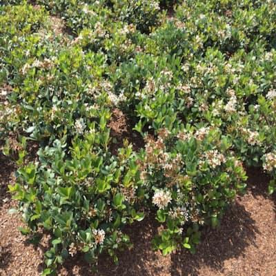 3 Gal. Sweet Viburnum Shrub with White Flowers