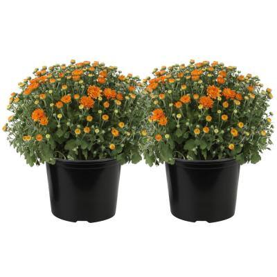 3 Qt. Ready to Bloom Fall Mums Chrysanthemum (2-Pack), Orange