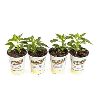 1.71-Pint Organic Jalapeño Pepper Plants (4-Pack)