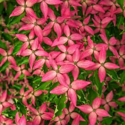 Scarlet Fire Dogwood (Cornus) Live Bareroot Ornamental Tree Pink Flowers (1-Pack)