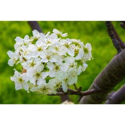 Redspire Flowering Pear Tree (Bare Root, 3 t. to 4 ft. Tall)