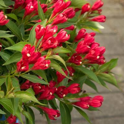 4 in. qt. Crimson Kisses Weigela Live Shrub, Red Flowers
