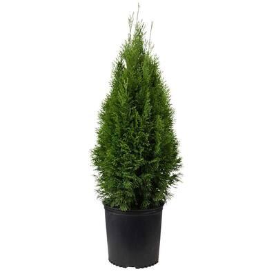 2.5 Gal - Emerald Green Arborvitae(Thuja) Live Evergreen Shrub/Tree, Green Foliage