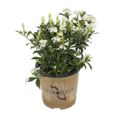 2 Gal . Sweetheart White Gardenia Evergreen Shrub