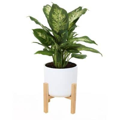 6 in. Dumb Cane, Dieffenbachia Plant in White Mid Century Planter and Stand