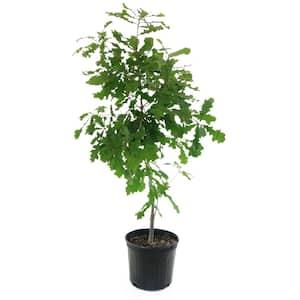 2.25 Gal. Deciduous Overcup Oak Tree