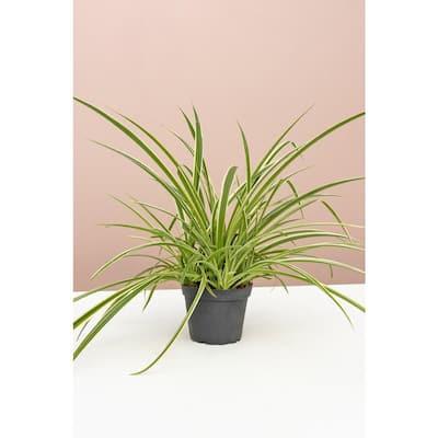 4 in. Spider Plant (Chlorophytum Comosum) Plant in Grower Pot