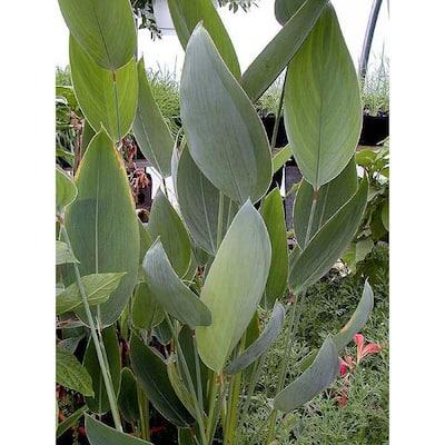 4 in. Thalia Potted Bog/Marginal Pond Plant