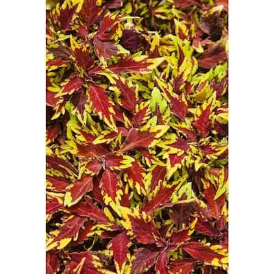 4-Pack, 4.25 in. Grande ColorBlaze Apple Brandy Coleus (Solenostemon) Live Plant, Burgundy and Chartreuse Foliage