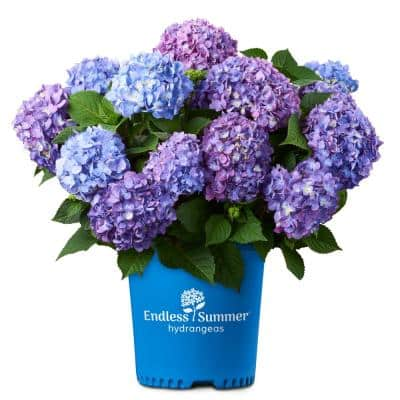 2 Gal. Bloom Struck Hydrangea Plant with Pink and Purple Flowers