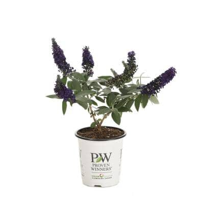 1 Gal. Pugster Blue Butterfly Bush (Buddleia) Live Shrub, Blue Flowers
