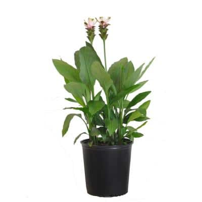 Curcuma Plant Pink Live Indoor Outdoor Plant Shipped in 9.25 in. Grower Pot 28 in. to 34 in. Tall