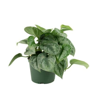 6 in. Devil's Ivy Silver Satin Pothos Plant in Grower Pot