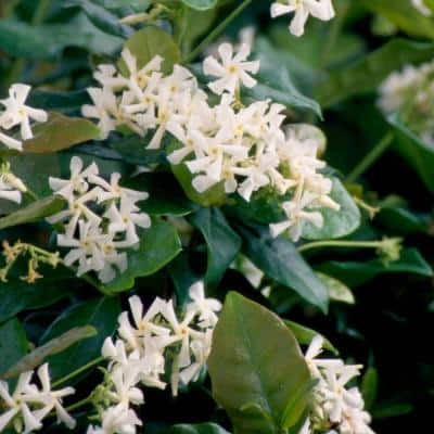 2.5 gal. Confederate Jasmine (Star Jasmine) Live Vine Plant with White Fragrant Blooms