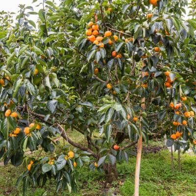 2.25 Gal. Deciduous Native Persimmon Tree