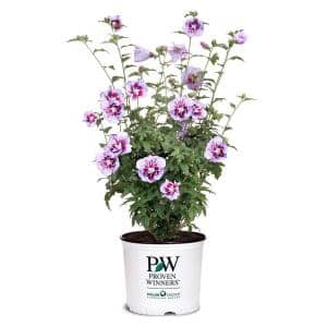 2 Gal. Purple Pillar Rose of Sharon (Hibiscus) Plant with Purple Flowers