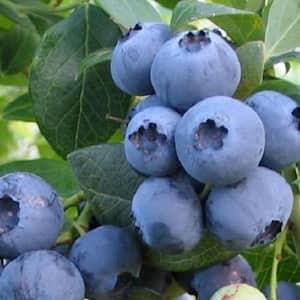 2.5 Qt. Bless Your Heart Blueberry(Rabbiteye) - Fruit-bearing Shrub