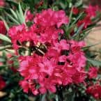 5 Gal. Red Oleander Live Shrub Plant