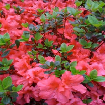 3 Gal. Fashion Azalea Flowering Shrub with Salmon Crimson Flowers