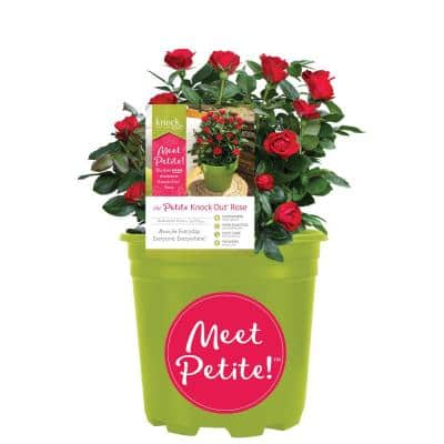 1.5 Gal. Red The Petite Knock Out Rose Bush with Red Flowers