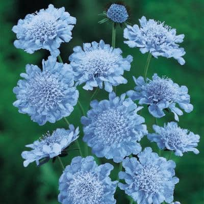 Butterfly Blue Pincushion (Scabiosa) Live Bareroot Perennial Plant, Blue Flowering (3-Pack)