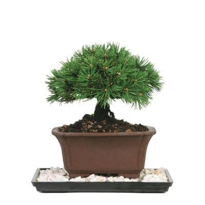 Dwarf Mugo Pine Bonsai