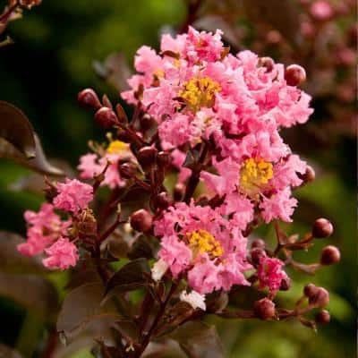 2 Gal. Delta Jazz Crapemyrtle, Live Deciduous Shrub/Tree, Burgundy Foliage, Bright-Pink Blooming