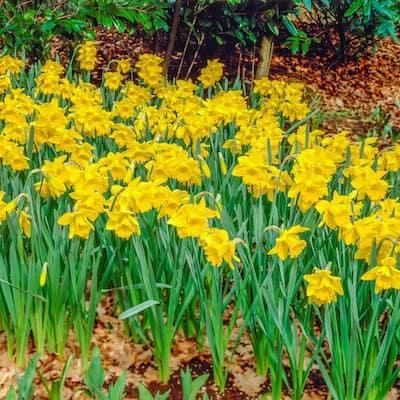 King Alfred Improved Trumpet Daffodil Bulbs 100-Pack