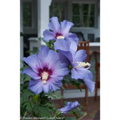 1 Gal. Azurri Blue Satin Rose of Sharon (Hibiscus) Live Shrub, Blue Flowers
