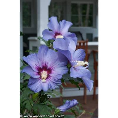4.5 in. Qt. Azurri Blue Satin Rose of Sharon (Hibiscus) Live Shrub, Blue Flowers