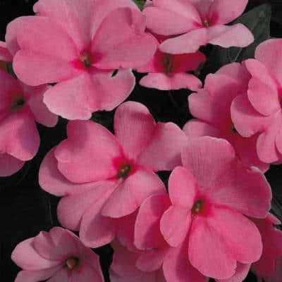 1.8 Gal. Pink New Guinea Impatiens Hanging Basket