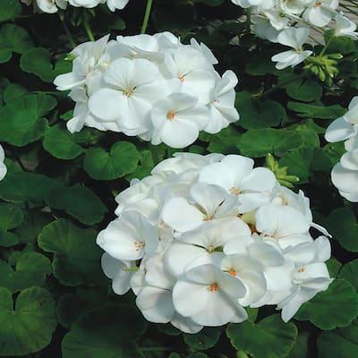 1 Qt. White Geranium Annual Plant