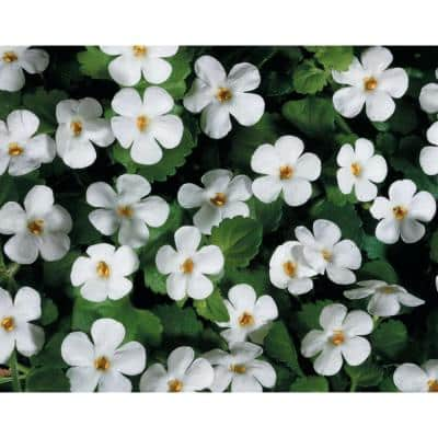 4-pack, 4.25 in. Grande Snowstorm Giant Snowflake Bacopa (Sutera) Live Plant, White Flowers