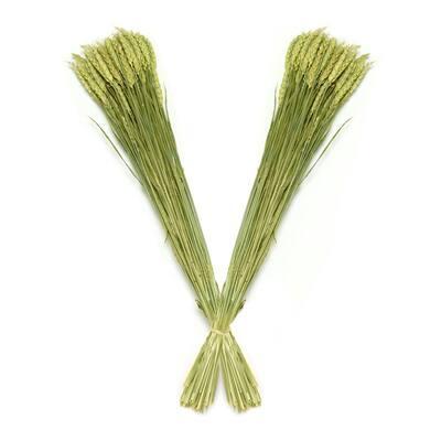 Wheat Triticum Dried Natural (2-Pack)