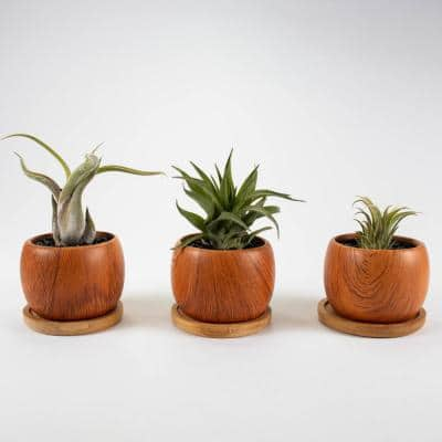 Air Plant Trio (Tillandsias) - Live Plants in 3 in. Wood Pattern Ceramic Round Pot Set w/ White Stone (3-Pack)