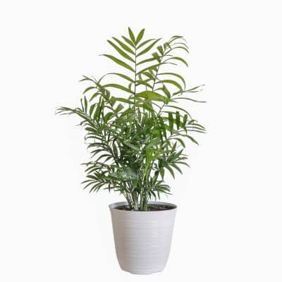 12 in. to 18 in. Tall Parlor Palm Plant in 6 in. White Decor Pot
