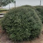 9.25 in. Pot - Bordeaux Yaupon Holly(Ilex), Live Evergreen Shrub, Burgundy-Red New Foliage