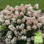 1 Gal. Little Quick Fire Hardy Hydrangea (Paniculata) Live Shrub, White to Pink Flowers
