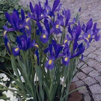 Dutch Iris Bulbs Sapphire Beauty (Set of 25)