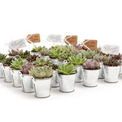 2 in. Wedding Event Rosette Succulents Plant with Tin Metal Pails and Let Love Grow Tags (100-Pack)