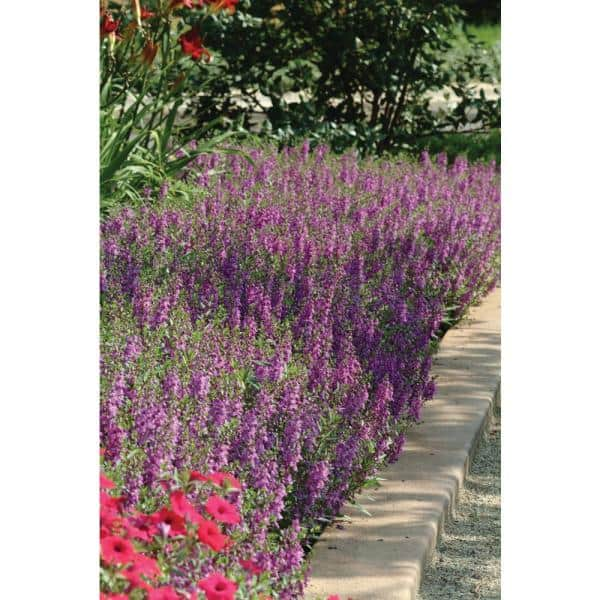 Costa Farms 1 Qt Purple Angelonia Flowers In Grower Pot 4 Pack 4angelopur4pk The Home Depot