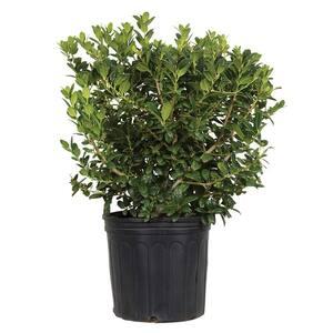 9.25 in. Pot - Dwarf Burford Holly(Ilex), Live Evergreen Shrub, Glossy Foliage with a Single Spine