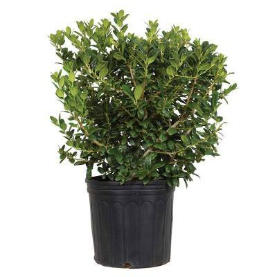 9.25 in. Pot - Dwarf Burford Holly(Ilex), Live Evergreen Shrub, Glossy Foliage with a Single Spine