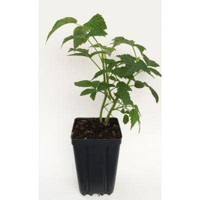 Ann Fruit-Bearing Potted Yellow Raspberry Plant